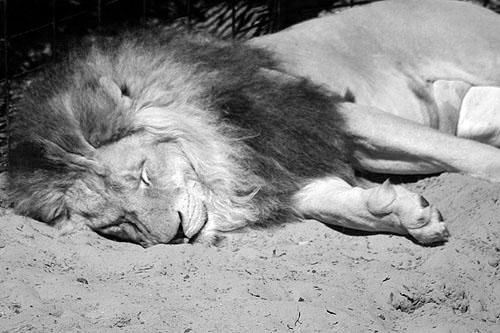 Le «Lion» caché dans la gadoue !