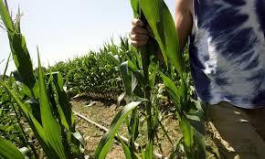 En 2016, les cultures OGM sont reparties à l'assaut de la planète