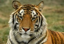 Coronavirus : Un tigre dénommé Nadia testé positif à New York