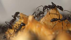 Des fourmis adaptent leur comportement pour contourner un risque