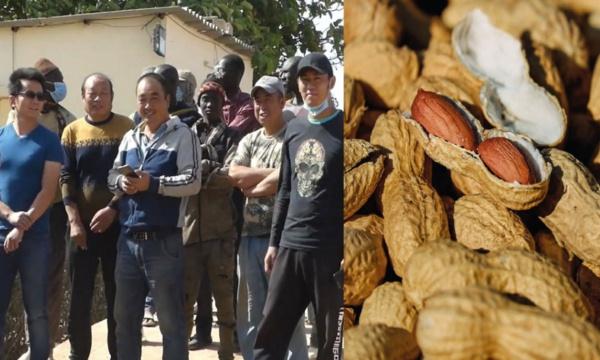 Main basse chinoise sur l'arachide sénégalaise : du désordre dans la filière aux soupçons de blanchiment de capitaux