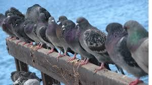 Chez les pigeons, les leaders incompétents sont rapidement rétrogradés