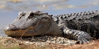 Le crocodile qui n'aimait pas les selfies