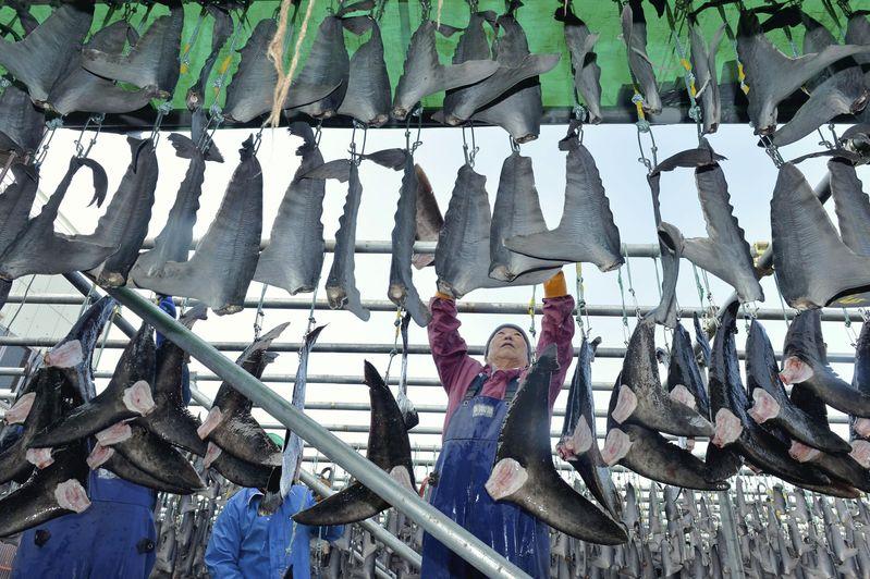 Patrouille conjointe Greenpeace–Guinée : Des ailerons de requins trouvés et saisis à bord de navires de pêche étrangers
