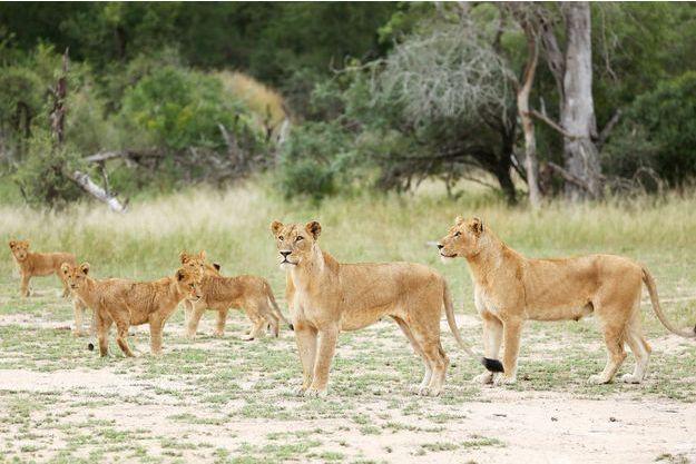 Afrique du Sud: Quatorze lions se sont échappés du parc Kruger