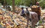 Cacao: hausse de 28% de la production en Côte d'Ivoire en 2016