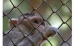 En Chine, un gène du cerveau humain implanté sur des singes