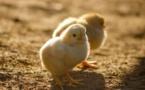 Les poussins ne pourront plus être broyés vivants, ni les porcelets castrés à vif