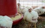 Grippe aviaire: après la Corse, un foyer près de Paris