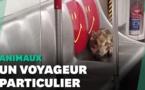 Insolite : Un sanglier sauvage s'offre un périple en métro à Hong Kong