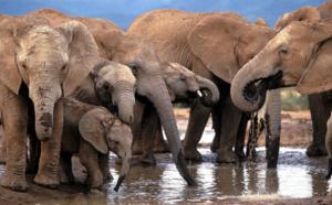Neuf éléphants en cavale meurent électrocutés au Botswana